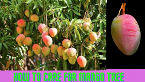 How to Care For Mango Tree