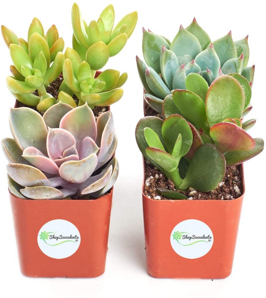 Assortment of Hand Selected, Fully Rooted Live Indoor Succulent Plants for mothers day best gift 2021