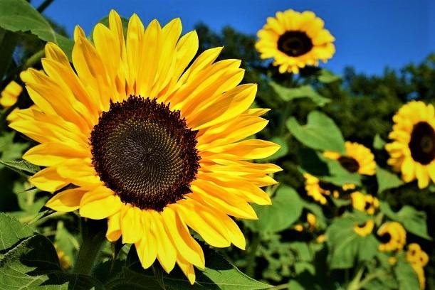 sunflower seeds benefits for weight loss